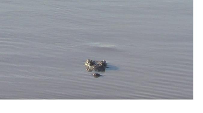 crocodile-watching-nathan
