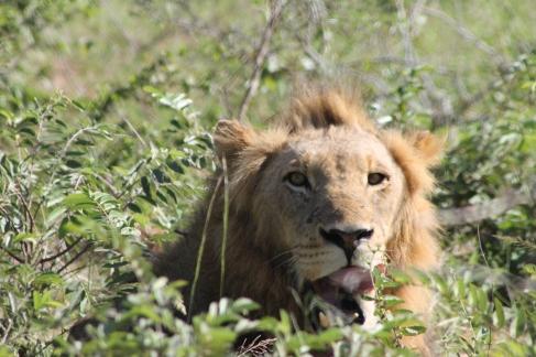 lion near Lower Sabie
