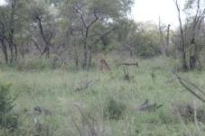 cheetah near Tshokwane