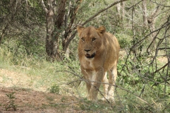 lioness near Lower Sabie